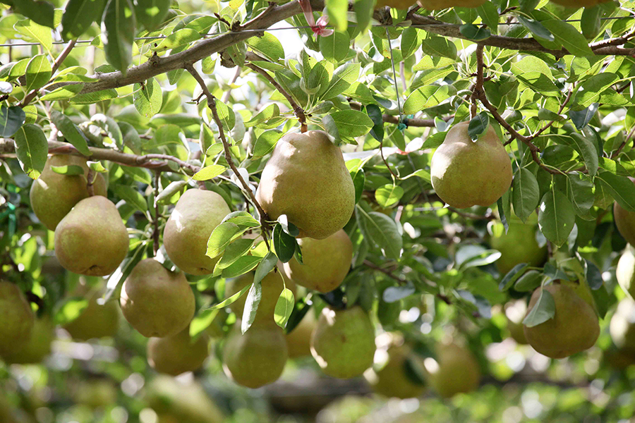 追熟する洋梨、しない和梨