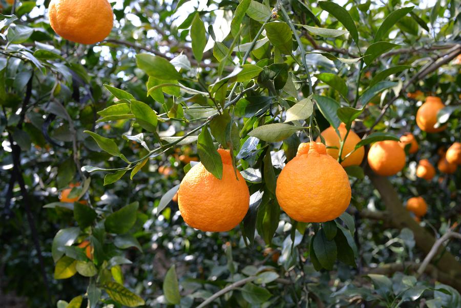 日本の柑橘類