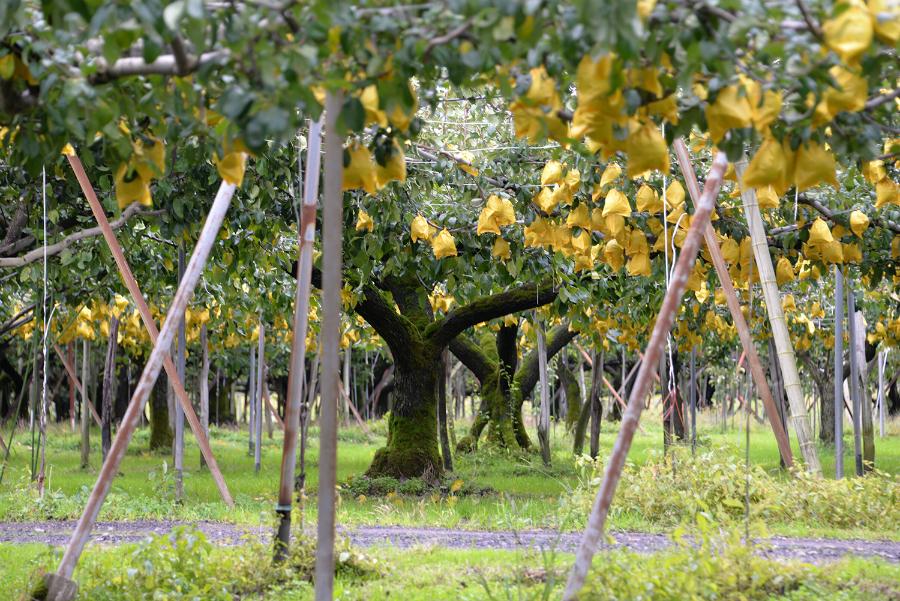 信濃川の梨農園