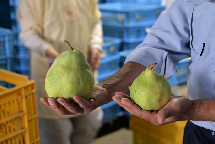 大玉の洋梨