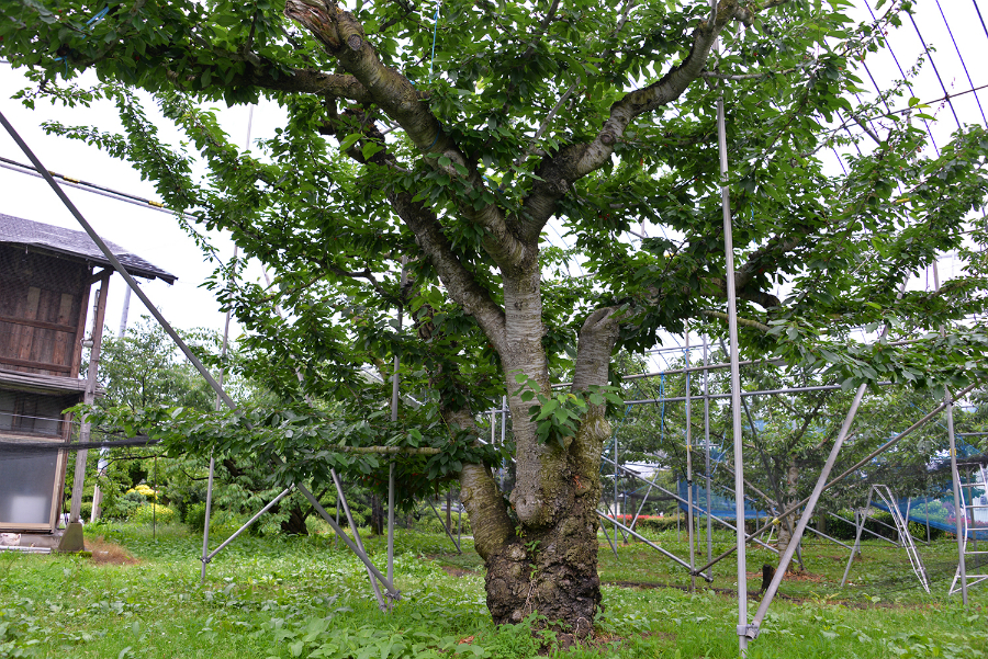 佐藤錦の老木